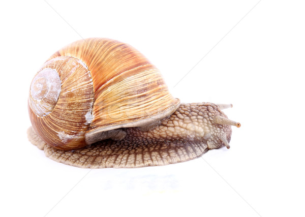 Snail isolated Stock photo © vadimmmus