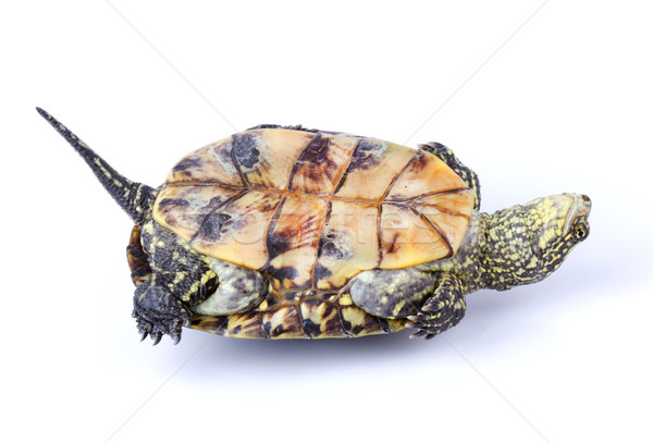 Turtle upside down Stock photo © vadimmmus
