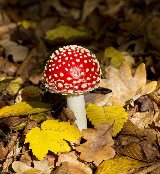 красный гриб трава зеленый медицина осень Сток-фото © vadimmmus