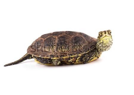 Kind turtle Stock photo © vadimmmus