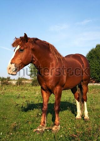Strong horse Stock photo © vadimmmus