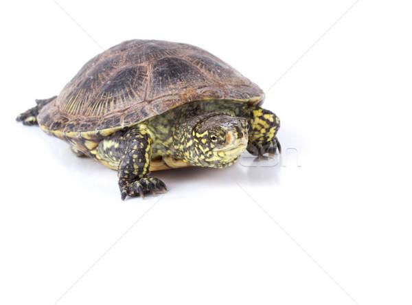 черепахи изолированный европейский пруд белый природы Сток-фото © vadimmmus