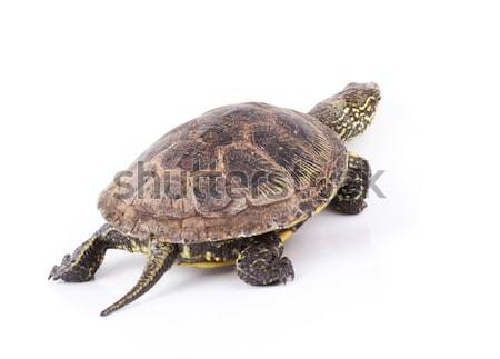 Turtle isolated Stock photo © vadimmmus