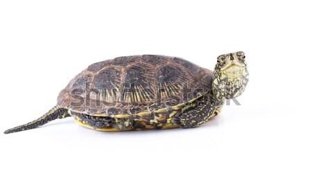 Kaplumbağa yalıtılmış komik beyaz doğa hızlandırmak Stok fotoğraf © vadimmmus
