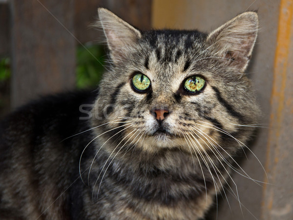 Cat portrait Stock photo © vadimmmus
