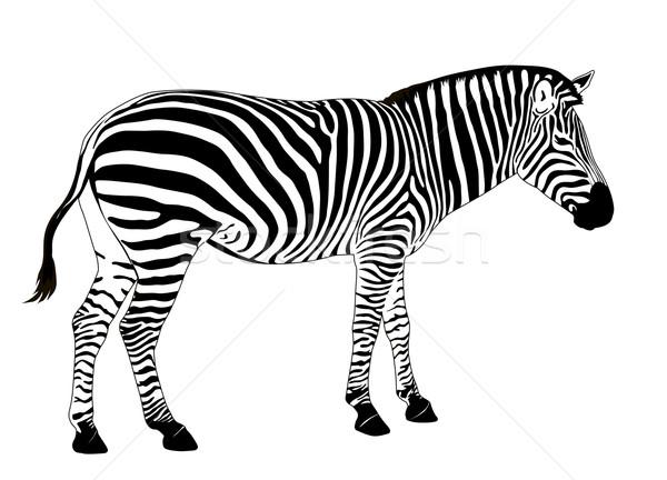 Vektor zebra illusztráció eps textúra természet Stock fotó © vadimmmus