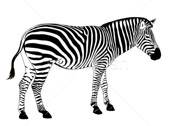 Vetor zebra ilustração eps textura natureza Foto stock © vadimmmus