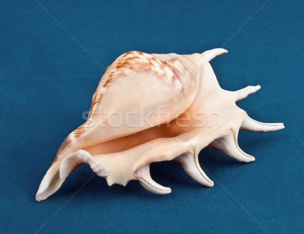 Sea shell Stock photo © vadimmmus