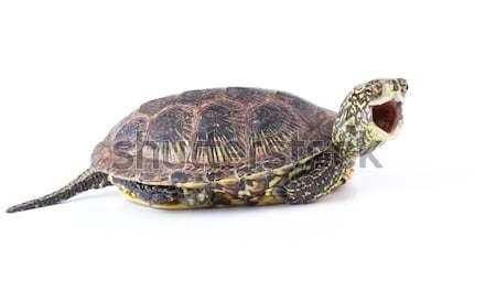 кричали черепахи смешные рот широкий открытых Сток-фото © vadimmmus