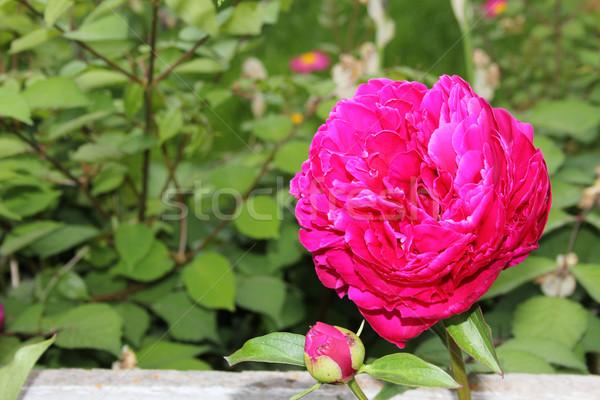 Flor rosa grande aumentó Bush flores primavera Foto stock © vanessavr