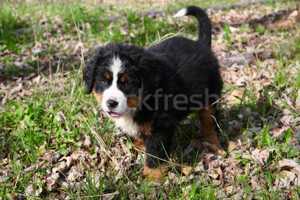 Boyero de berna primavera campo perro hierba Foto stock © vanessavr