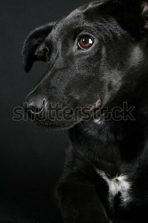 Gemischte Rasse Welpen groß schwarz Mantel Stock foto © vanessavr