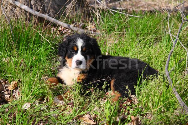 Berneński pies pasterski wiosną dziedzinie psa charakter Zdjęcia stock © vanessavr