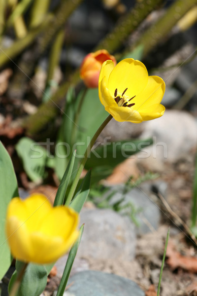 Spring tulip Stock photo © vanessavr
