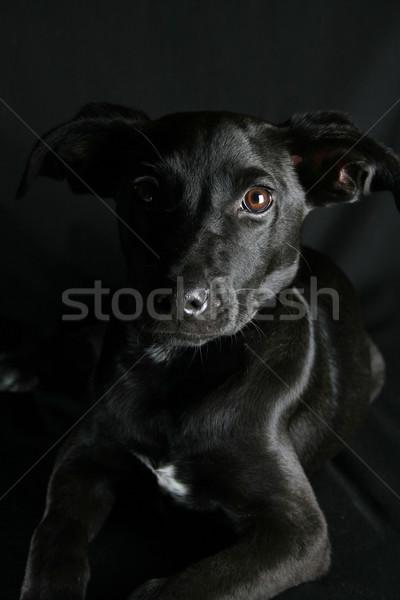 混合した 子犬 ビッグ 黒 コート ストックフォト © vanessavr