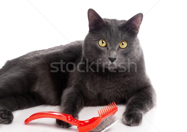 British Shorthair cat Stock photo © vankad