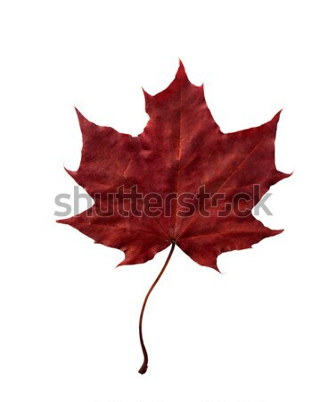 Beautiful fall leaf Stock photo © vankad