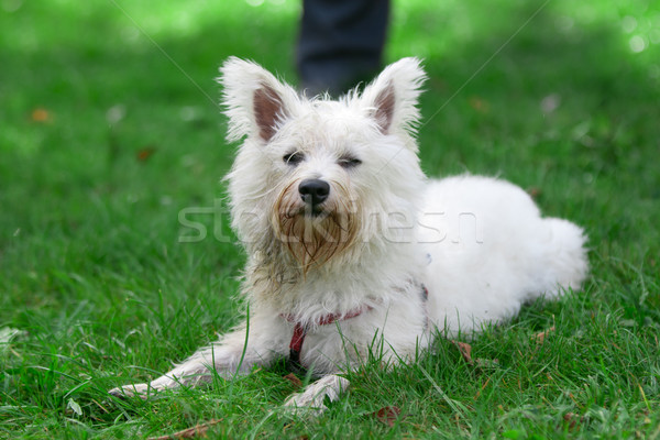 Small dog on a grass Stock photo © vankad