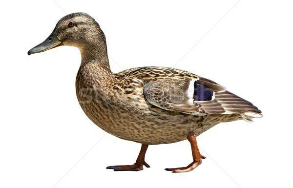 Wild duck Stock photo © vankad