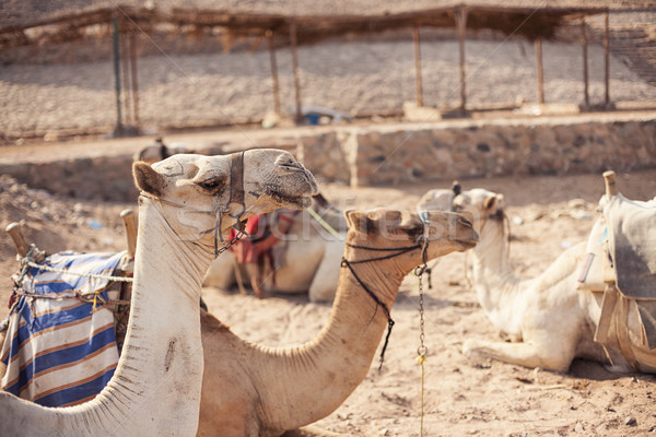 Safari trip in desert with camels Stock photo © Vanzyst