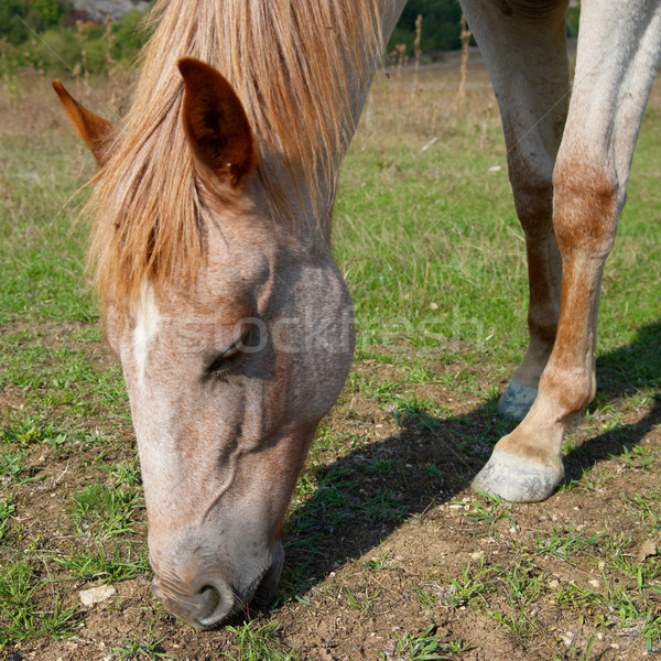 Grazing horse. Stock photo © vapi