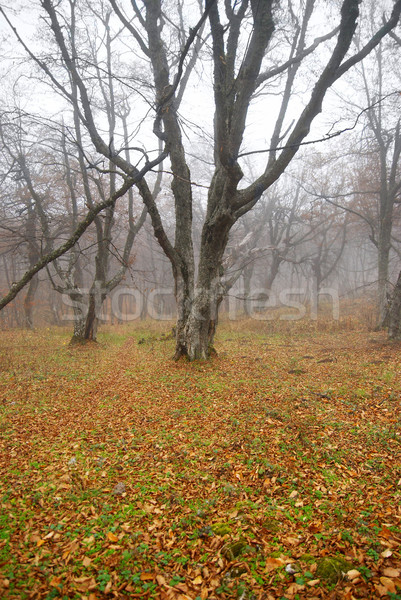 Autumn misty forest with fallen leaves. Stock photo © vapi