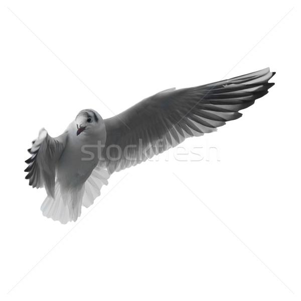 Pływające mewa odizolowany biały morza ptaków Zdjęcia stock © vapi