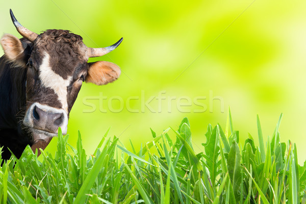 Stock photo: Cow grazing on farm field