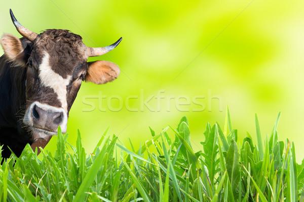 Tehén farm mező zöld fű puha égbolt Stock fotó © vapi