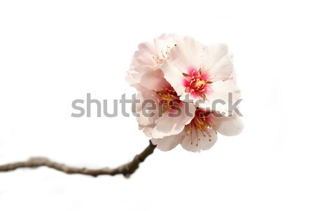 Mandula fa rózsaszín virágok ágak tavasz Stock fotó © vapi