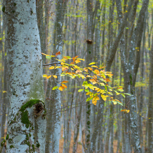 Utolsó citromsárga levelek ősz fa ősz Stock fotó © vapi