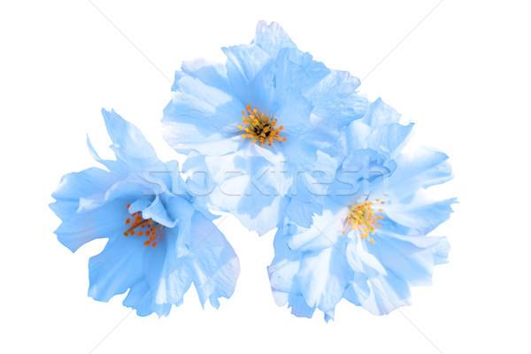 Blauw bloemen geïsoleerd witte natuur achtergrond Stockfoto © vapi