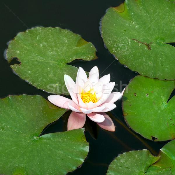 水 ユリ 花 葉 庭園 美 ストックフォト © vapi