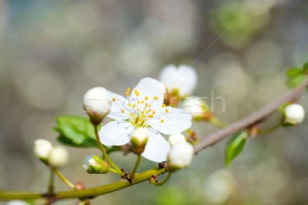 Tavasz virágzó fehér tavaszi virágok szilva fa Stock fotó © vapi