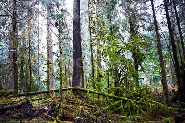 Buio misty foresta grande verde pino Foto d'archivio © vapi