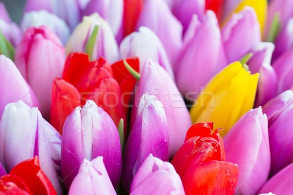 Friss színes tulipánok természet tavasz puha Stock fotó © vapi