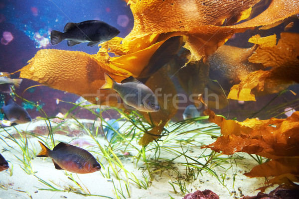 Tropical fish near coral reef Stock photo © vapi