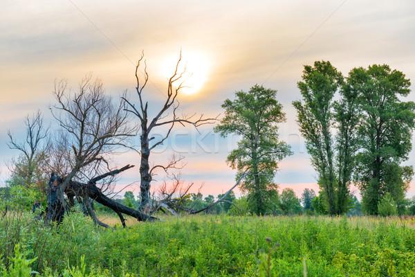 日没 木 フィールド 黄色の花 花 ツリー ストックフォト © vapi