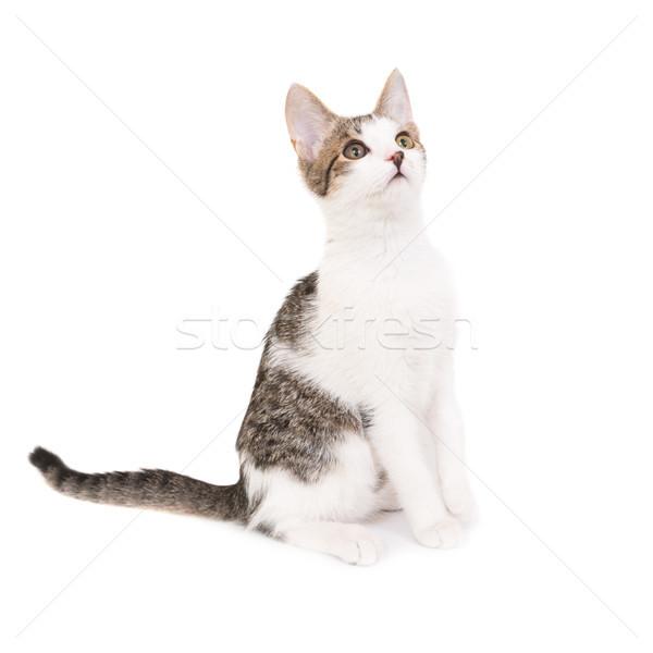 Házimacska kiscica izolált fehér macska haj Stock fotó © vapi