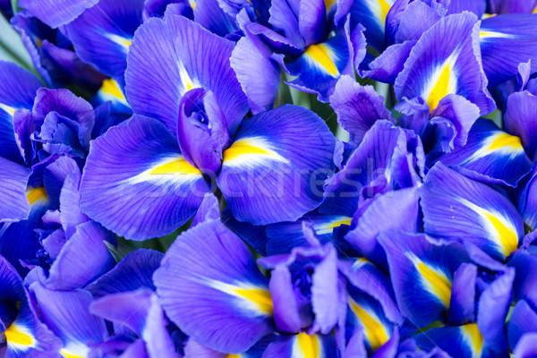 синий цветок синий весенний цветок мягкой Focus bokeh Сток-фото © vapi
