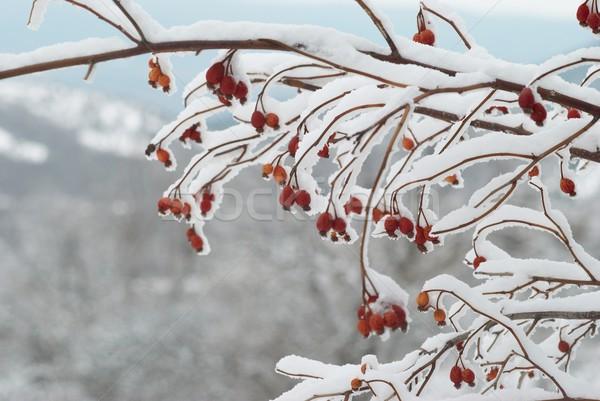 Ijs gedekt Rood heupen winter bos Stockfoto © vapi