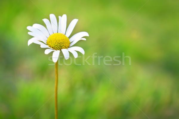 ромашка области зеленая трава цветок весны трава Сток-фото © vapi