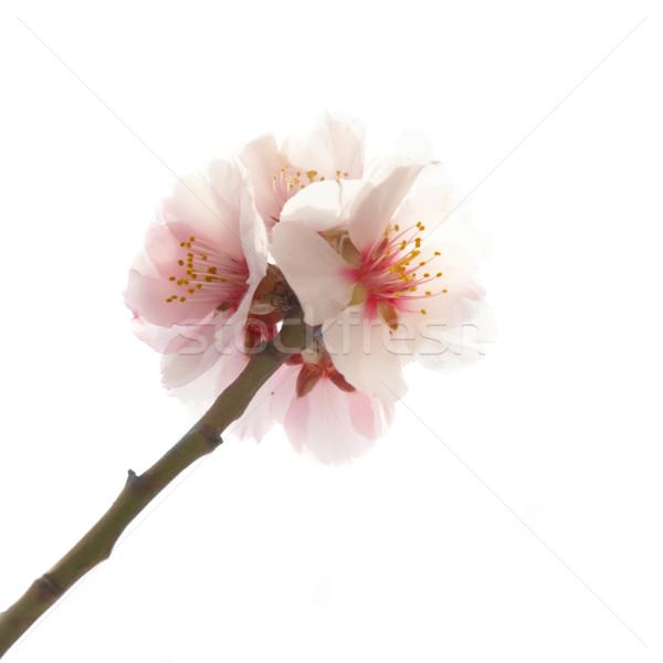 Amêndoa árvore rosa flores isolado Foto stock © vapi