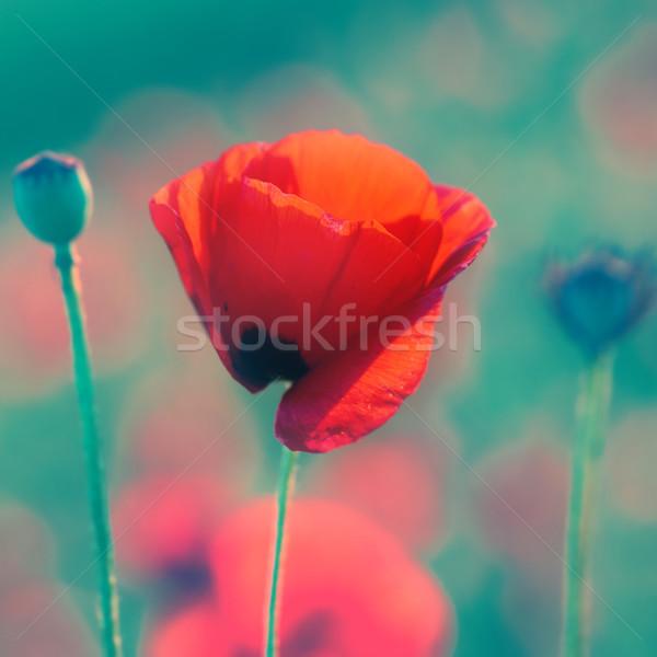 Foto stock: Rojo · amapola · pradera · puesta · de · sol · suave · bokeh