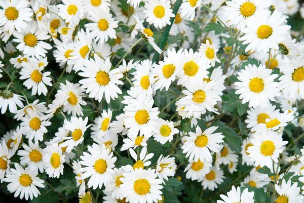 Dziedzinie biały chryzantema kwiat wiosną charakter Zdjęcia stock © vapi