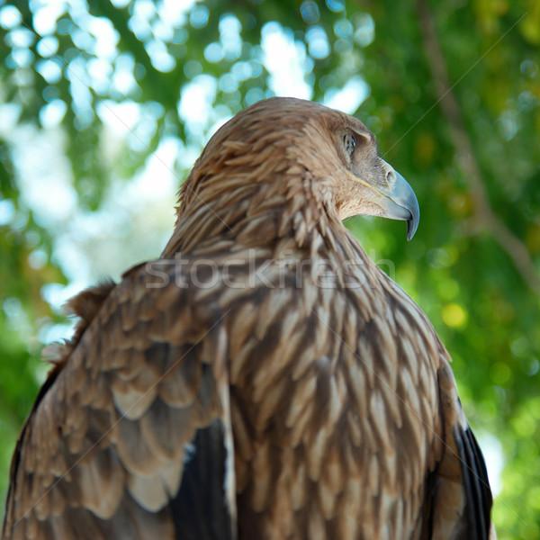 Falcão Águia sessão árvore natureza beleza Foto stock © vapi