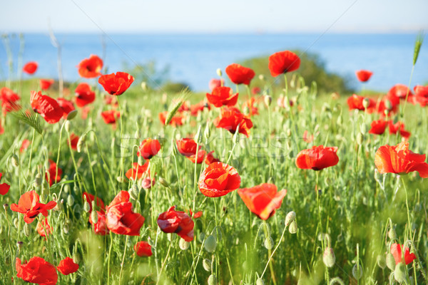 Stock photo: Red flowers poppies on field
