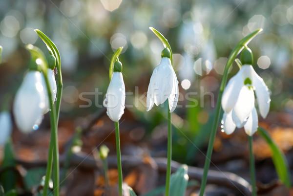 Voorjaar witte bloemen zachte bloem zon licht Stockfoto © vapi