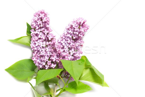 Сток-фото: фиолетовый · сирень · филиала · изолированный · белый · лист
