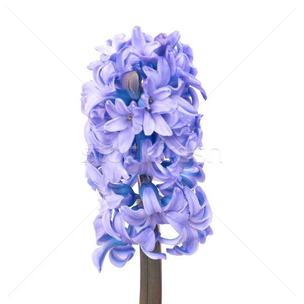 Azul três belo flores isolado branco Foto stock © vapi